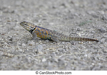 Desert Spiny Lizard (Sceloporus magister) on a sandy surface