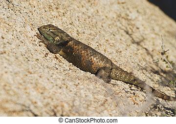 Desert Spiny Lizard (Sceloporus magister) sunning itself