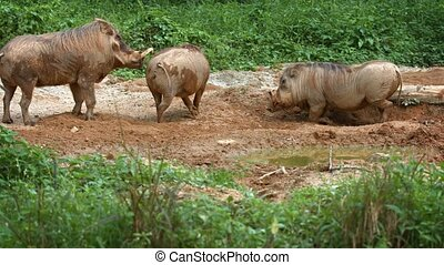 Adult desert warthog lies down in the mud as two others approach in their habitat enclosure at the zoo. UltraHd 4k video