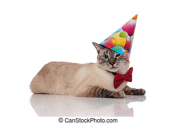 desgastar, cavalheiro, gato, burmese, chapéu aniversário, mentindo