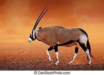 desierto, llanuras, ocaso, gemsbok