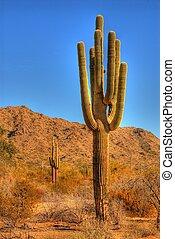 desierto, saguaro