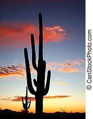 desierto, tucson, saguaro