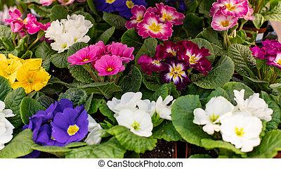 design., rosa, blühen, blaues, hintergrund, flower., satz, ...