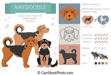 Designer dogs, crossbreed, hybrid mix pooches collection isolated on white. Airedoodle flat style clipart infographic. Vector illustration