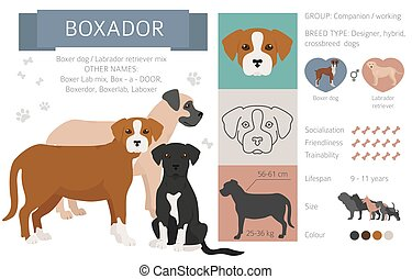 Designer dogs, crossbreed, hybrid mix pooches collection isolated on white. Boxador flat style clipart infographic. Vector illustration