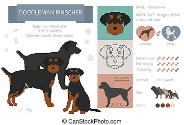 Designer dogs, crossbreed, hybrid mix pooches collection isolated on white. Doodleman pinscher flat style clipart infographic. Vector illustration