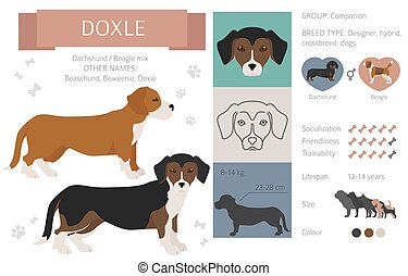 Designer dogs, crossbreed, hybrid mix pooches collection isolated on white. Doxle flat style clipart infographic. Vector illustration
