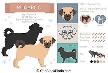 Designer dogs, crossbreed, hybrid mix pooches collection isolated on white. Pugapoo flat style clipart infographic. Vector illustration