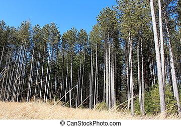 deslumbrante, copse, de, alto, árvores pinho