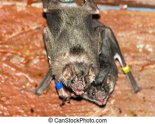 (desmodus, rotundus), vampire, chauve-souris, commun