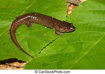 (desmognathus, conanti), salamander, düster
