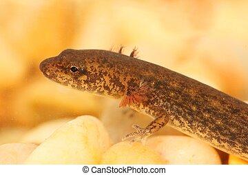 desmognathus, nördlich , fuscus, ), (, salamander, düster