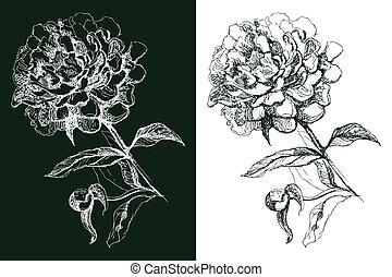 dessiné, fleur, pivoine, illustration, main