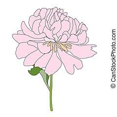 dessiné, illustration, pivoine, flower., abrégé main, vecteur