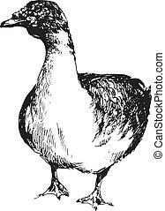 dessiné, main, canard