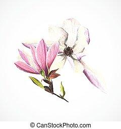dessin, vecteur, main, crayons, image, magnolia, couleur