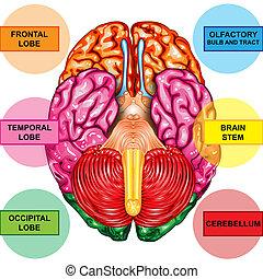 dessous, cerveau humain, vue
