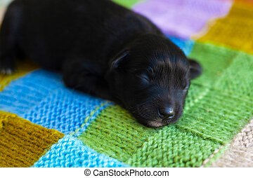 dessus-de-lit, peu, chiot, noir, dormir