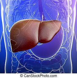 destacado, anatomia, fígado