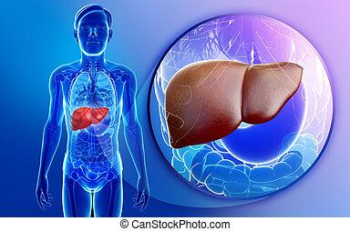 destacado, anatomia, macho, fígado
