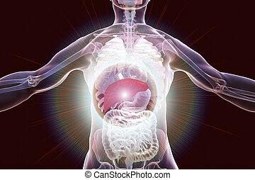 destacado, corporal, dentro, fígado, human