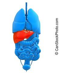 destacado, fígado