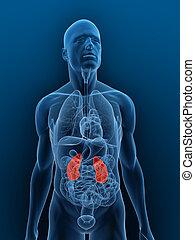 destacado, glándulas, suprarrenal, riñones