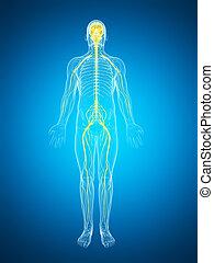 destacado, nervio, macho, sistema