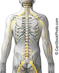 destacado, nervo, sistema