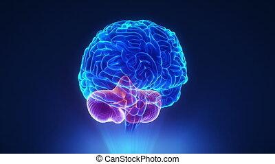 destra, cervelletto, in, cappio, cervello, concetto