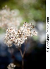 desvanecimiento, planta