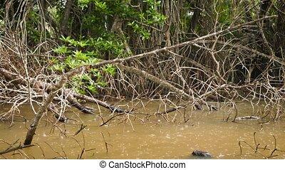 deszcz, sezonowy, tropikalny, 4k, video, mangrowe, rzeka, ...
