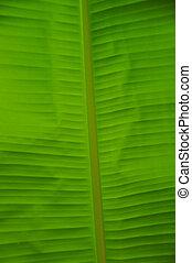 detail bannana leaf - malasian bannana leaf close up backlit...