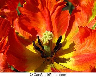 detail, closeup, von, groß, rote tulpe