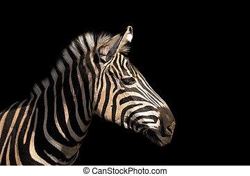 Detail colour portrait zebra on the black background