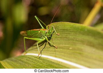 detail, cvrček, list, důležitý, -, názor, obilí, nezkušený, keř, kobylka luční