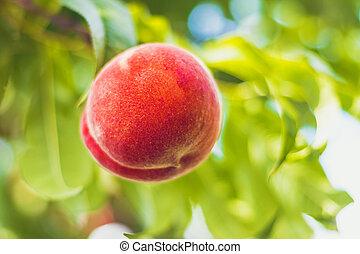 detail, dokola, strom, donášet, mladický list, ovoce, -