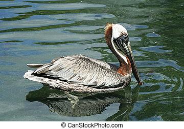 Detail Heron - close up heron swimming on water