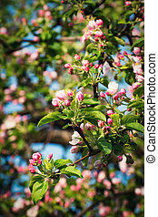 spring apple blossoms of flowers