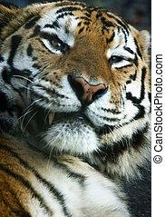 detail, o, jeden, tiger