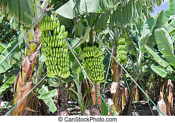 Detail of a banana plantation at La Palma, Spain
