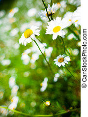 Detail of a beautiful Daisy Flower