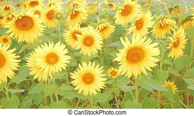 Detail of a field with many sunflowers in sunlight with...
