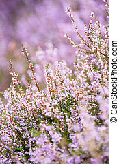 Detail of a flowering heather plant in dutch landscape