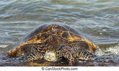 Detail of a Green Sea Turtle or Hawaiian Sea Turtle near the shore in Laniakea Beach also known as Turtle Beach on Oahu island, Hawaii, United States. Chelonia mydas species