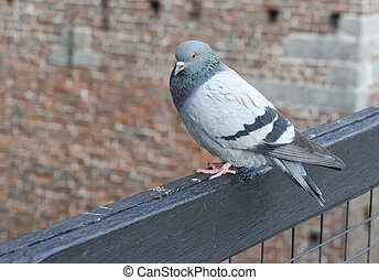 detail of a pigeon