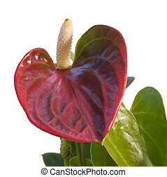 red Flamingo Flower in white back
