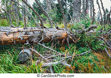 Detail of a tree broken by a strong wind, storm damage