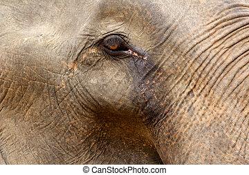 Detail of an elephant eye
